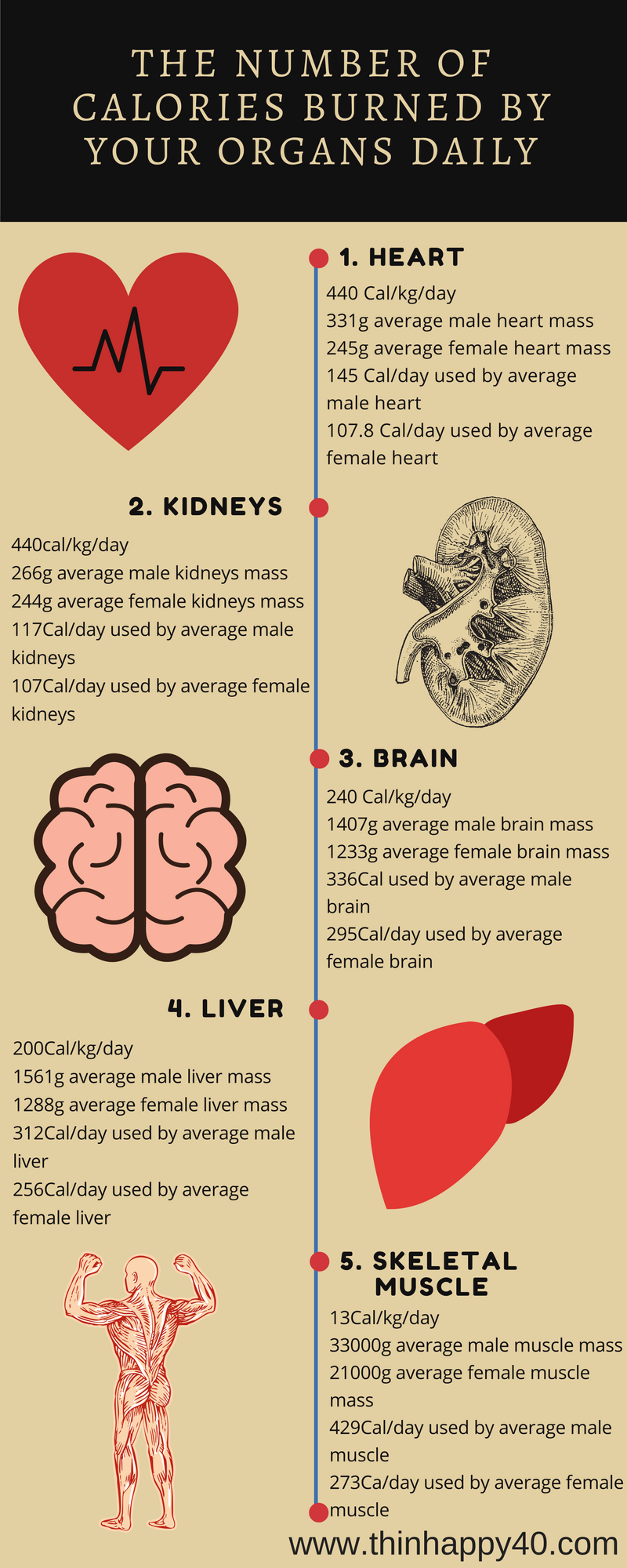 Calories burned by organs daily