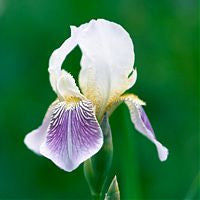 Iris Florentina Botanical Extract USA