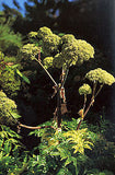 Angelica Root Essential Oil <br><i><small>angelica archangelica lical</small></i></br>