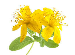 St John's Wort Infused Organic hypericum spicatum infused in organic sunflower Oil