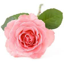 Rose Otto Kazanlak Essential Oil  <br><i><small>rosa damascene</small></i></br>