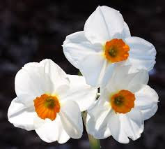 Narcissus <br><i><small>narcissus poeticus</small></i></br>