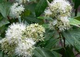 Aniseed Myrtle Essential Oil Organic <br><i><small>backhousia anisata</small></i></br>