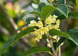 Osmanthus Absolute <br><i><small>osmanthus fragrans</small></i></br>