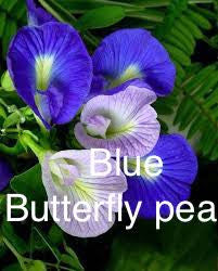 BLUE BUTTERFLY PEA Botanical<br><i><small>clitoria teratea </small></i></br>