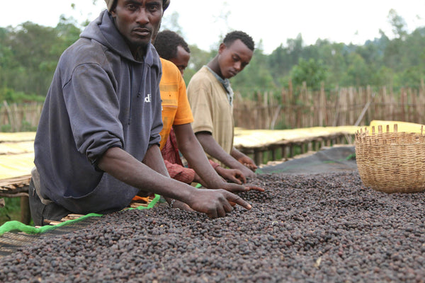 NATURAL FROM PARTNERS AT ADADO WASHION STATION GUANGA, ETHIOPIA