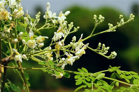 Moringa Seeds to Grow Your Own Superfood
