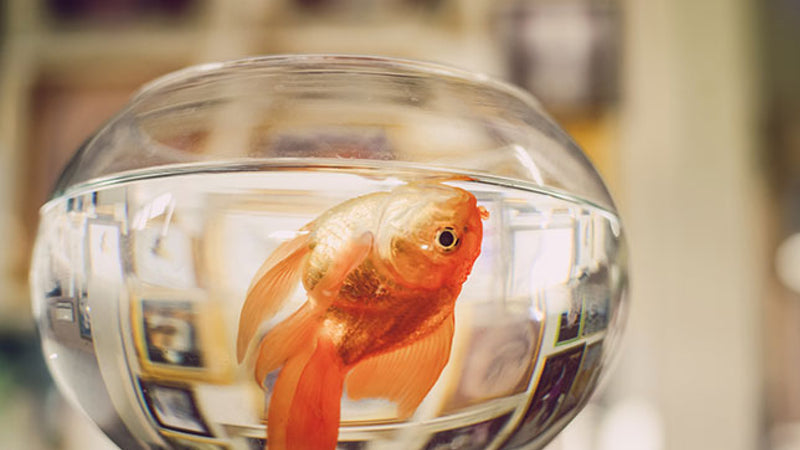 Why Does Tap Water Kill Goldfish? image