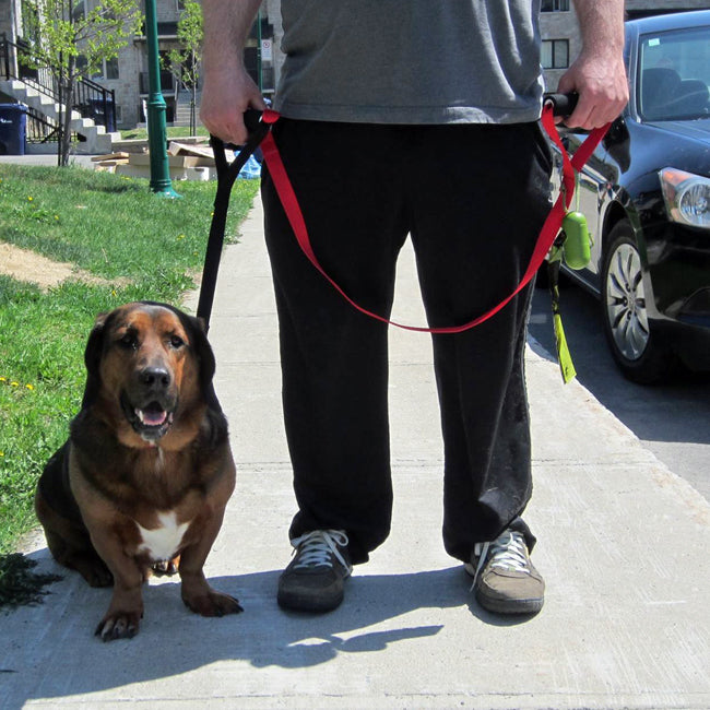 dog with two handle leash