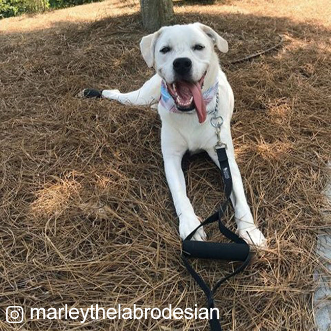 large dog with made in USA leash