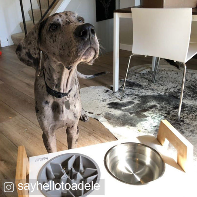 great dane with raised feeder