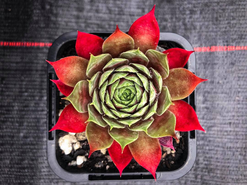 Sempervivum 'Marland's Beauty' (XS)