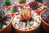 Sempervivum 'Sirius' (SET OF 5 CUTTINGS)