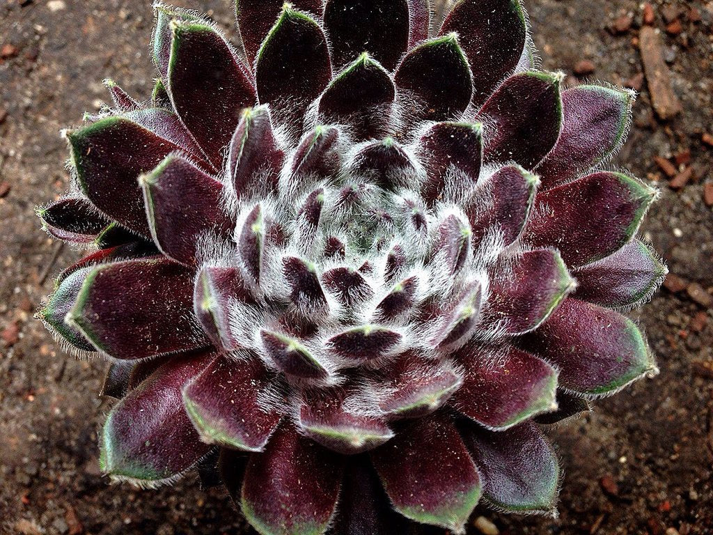 Sempervivum 'Pacific Feather Power' (P/C)