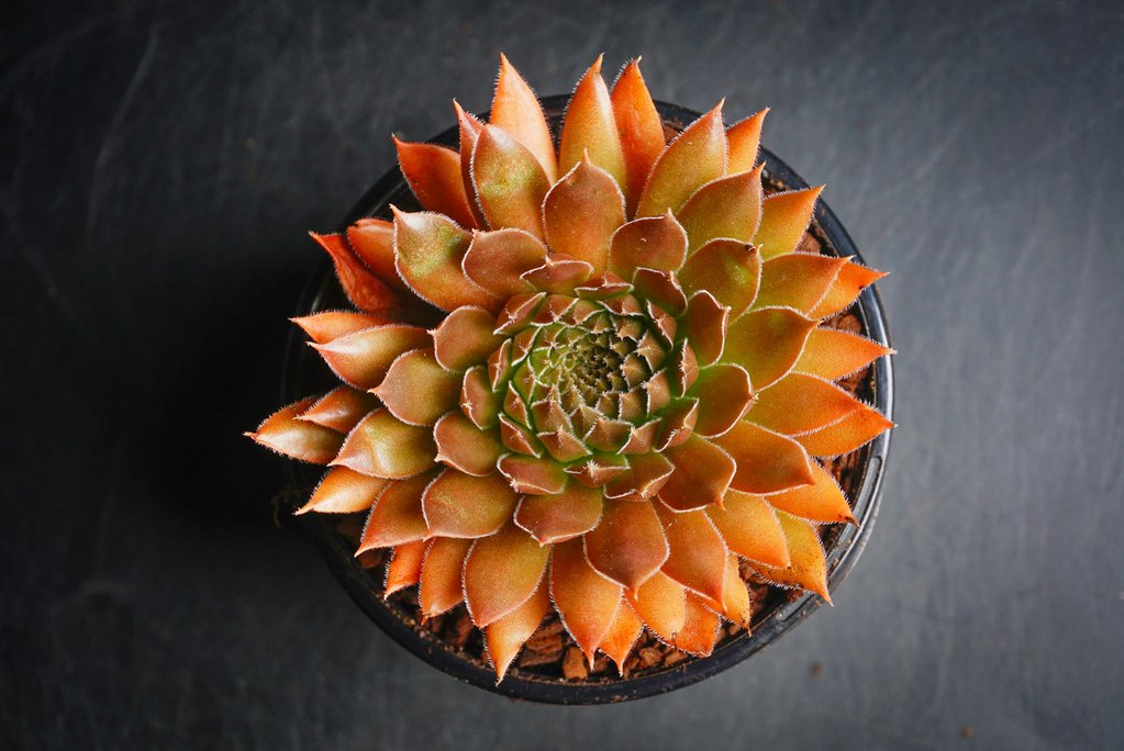 Sempervivum 'Bronze Pastel'
