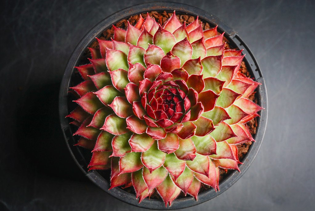 Sempervivum 'Bronco'  (P/C)