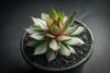 Sempervivum 'Twilight Blue' (S)(D35)
