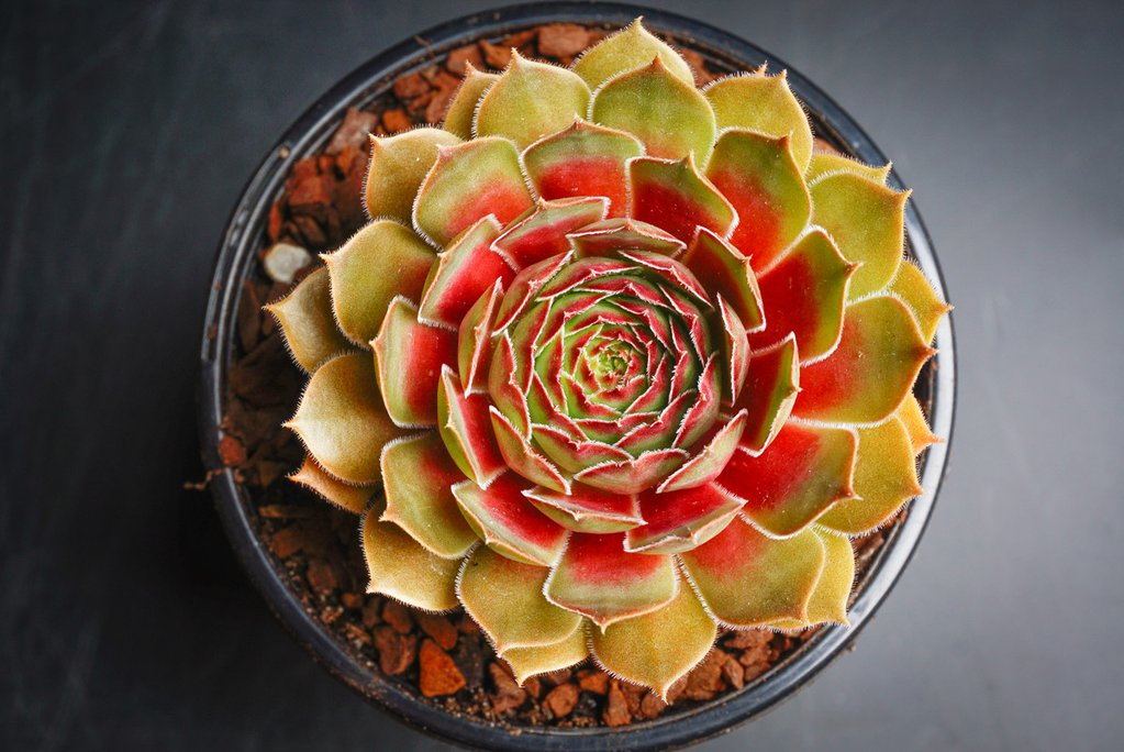 Sempervivum cv. 'Weighton's Red' (P/C)