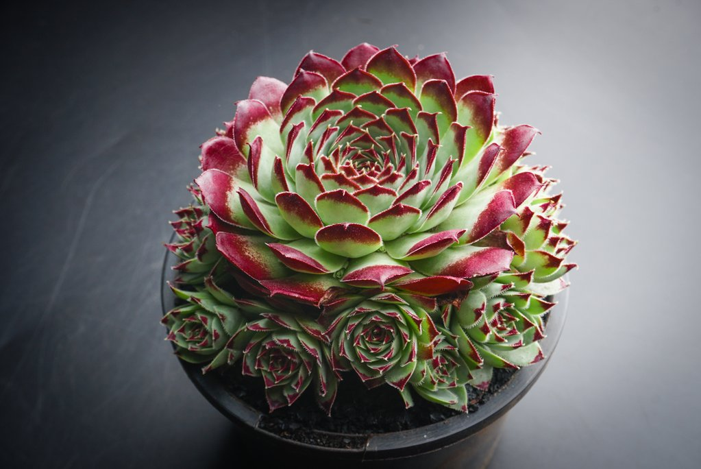 Sempervivum calcareum 'Guillaumes' (P/C)