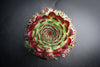 [WHOLESALE PACK OF 20] Sempervivum calcareum 'Guillaumes'