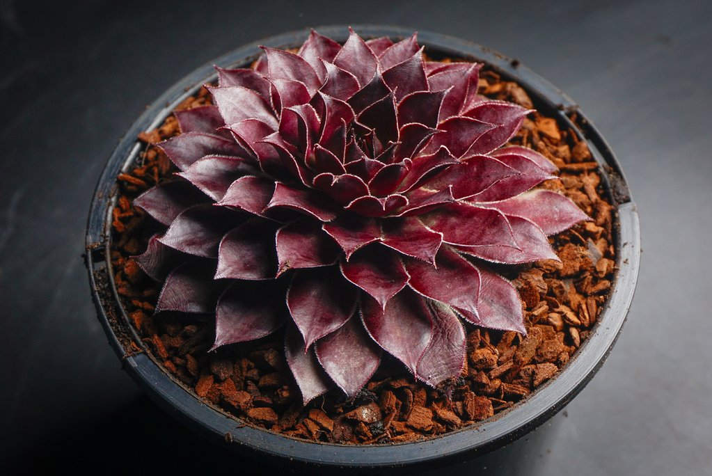 Sempervivum 'Dark Beauty'
