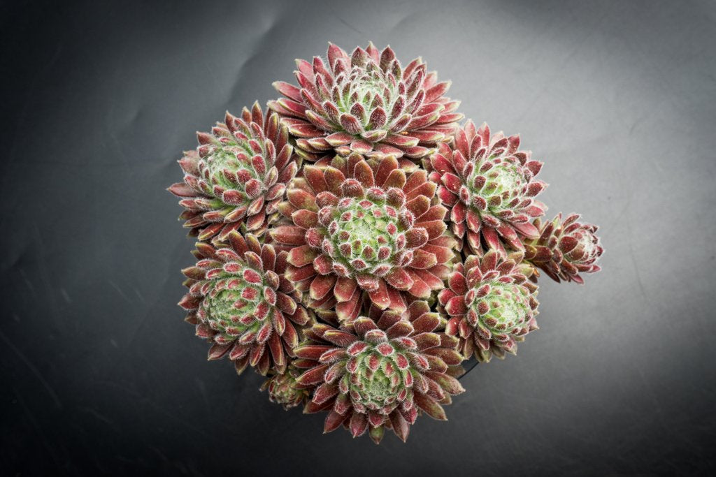 Sempervivum 'Hairy Ball' (P/C)