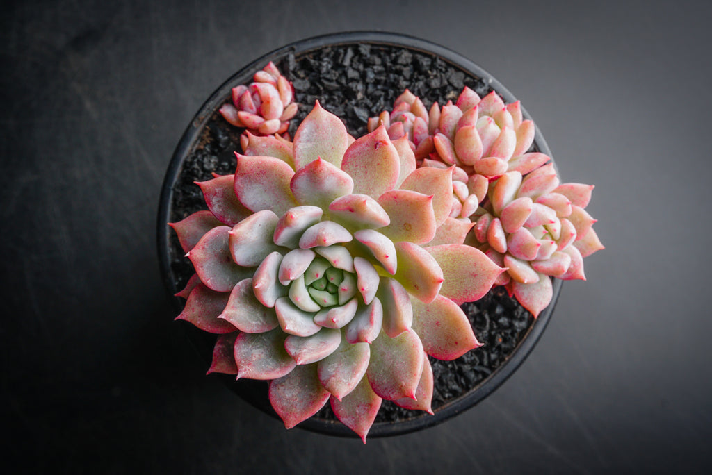Echeveria Prolifica