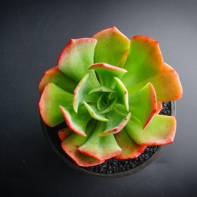 Echeveria Briar Rose (1 x CUTTING)