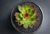 Sempervivum 'Pacific Red Rose' (P/C)