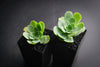 Aeonium aureum aka. Greenovia Aurea (SET OF 3 CUTTING)