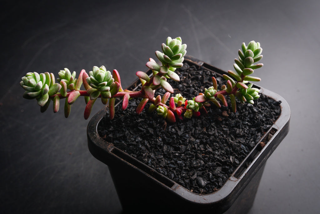 Sedum Oaxacanum 'star carpet' ( 1 x CUTTING)