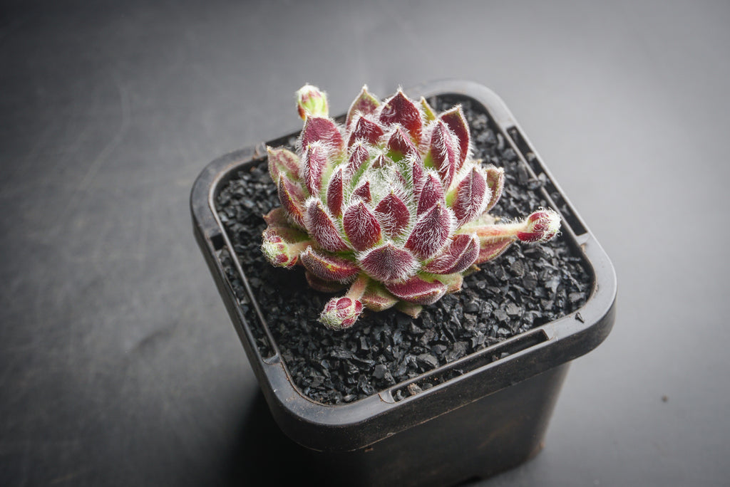 Sempervivum 'Winter Beauty' (P/C)