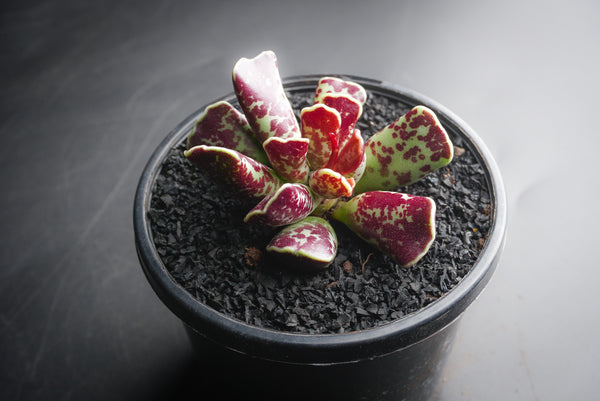Adromischus cooperi (SALE NIGHT)