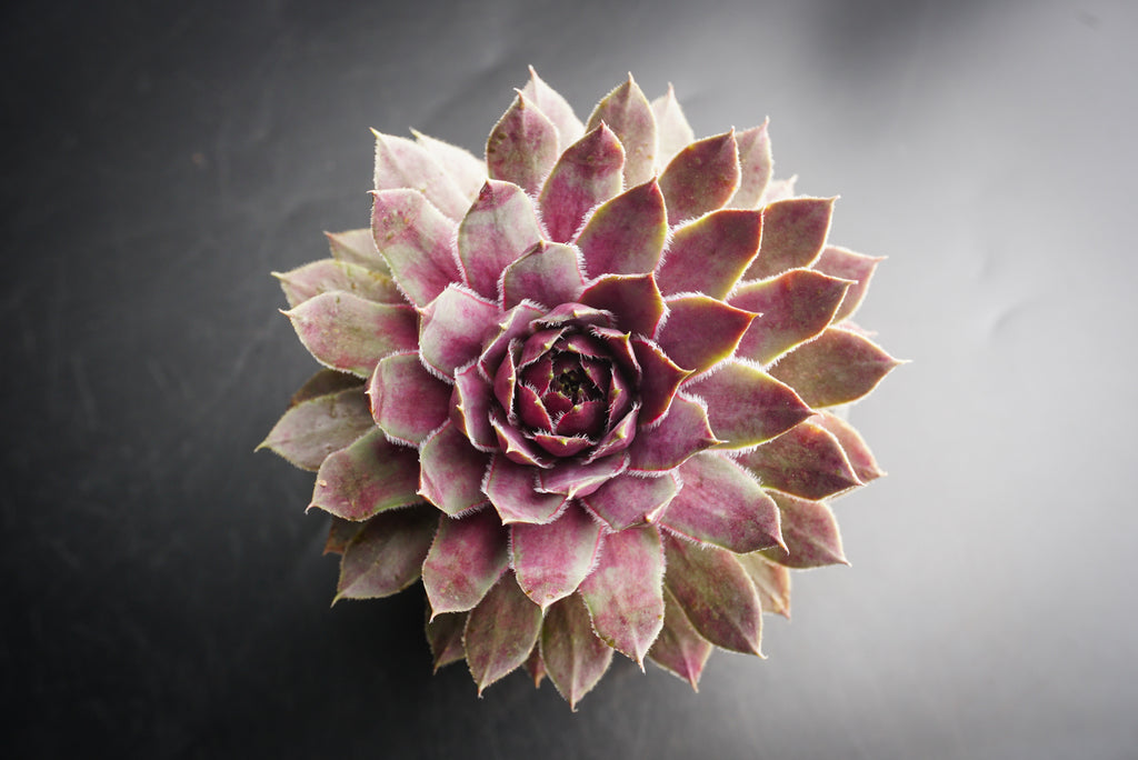 Sempervivum 'Lavender and Old Lace' (P/C)