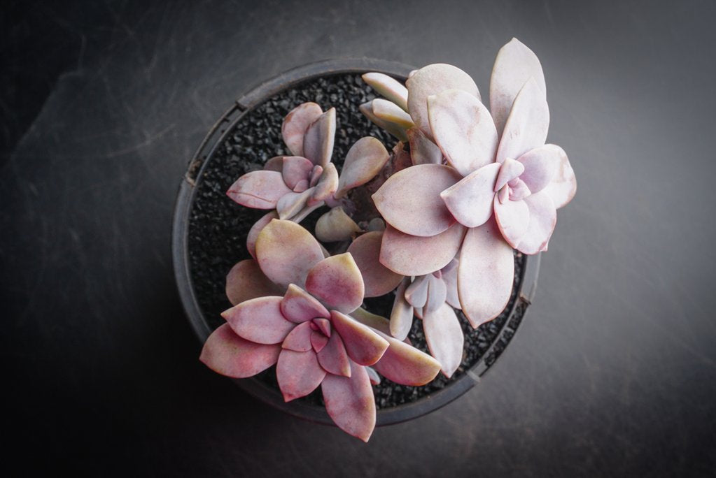 Graptopetalum pentandrum ssp superbum