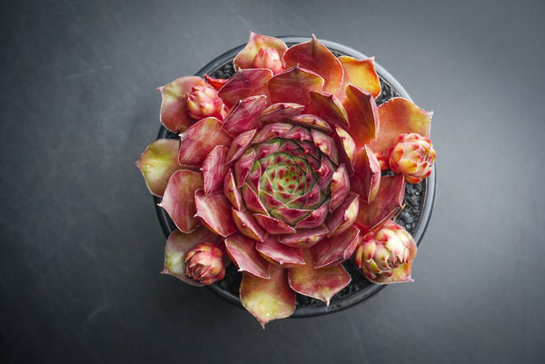 Sempervivum 'Adelmoed' (P/C)