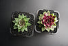 Sempervivum 'Irazu' (SET OF 5 CUTTINGS)