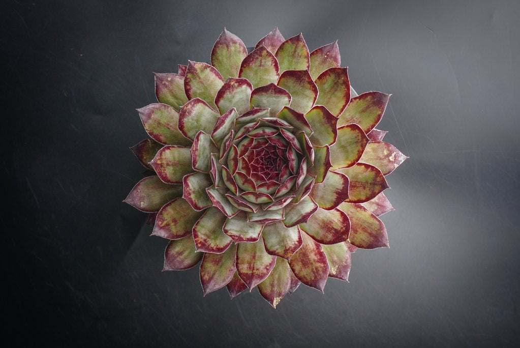 Sempervivum 'Edge of night'  (P/C)