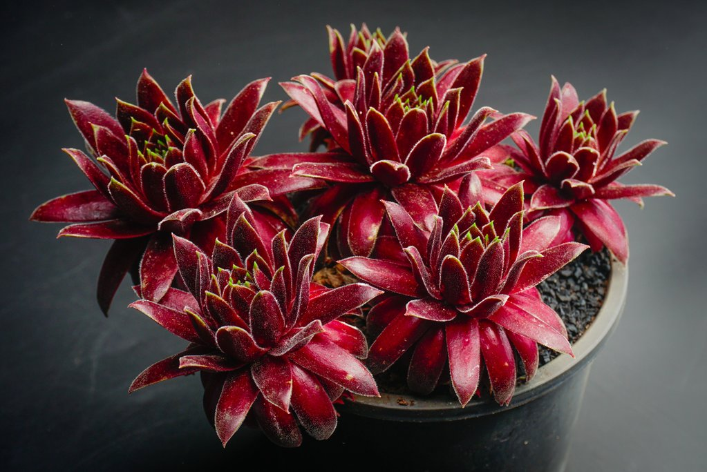 Sempervivum 'Red King' (XS)