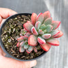 Graptoveria 'Purple Dream' (w/pup)