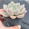 Graptoveria 'Rose Queen'