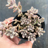 Graptopetalum mendozae 'Mirinae' (miniature pink form)