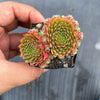 Sempervivum 'Pixie' (Lot of pups) (SALE NIGHT)