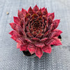 Sempervivum 'Reward' (P/C)