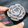 Echeveria 'Blue Surprise' (Ech. Lilacina Hyb )