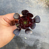 Aeonium 'Big Bang' (1 x CUTTING)