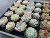 [WHOLESALE] 5 PLANTS x 7 VARIETIES = 35 PLANTS [ PACK 2 ]