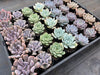 [WHOLESALE] 5 PLANTS x 7 VARIETIES = 35 PLANTS [ PACK 3 ]