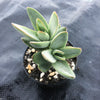 Crassula Shandy (1 x CUTTING)