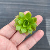 Aeonium 'Bronze Medal' (3 x CUTTINGS)